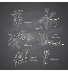 Set of garden and wild chalk hand-drawn berries vector