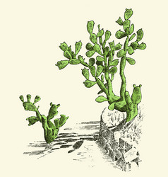 Prickly pear cactus plants engraved hand drawn in vector