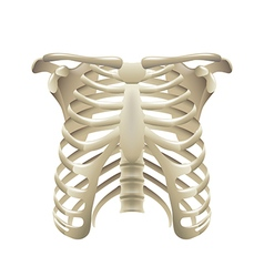 Rib cage isolated on white vector