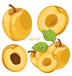 Apricot isolated vector image vector image