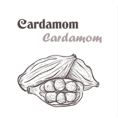 cardamom spice Sketch style of cardamom vector image vector image