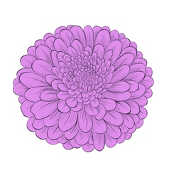 Flower chrysanthemum isolated on white vector