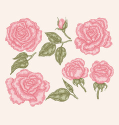 elegant pink rose flowers and leaves in vintage vector image