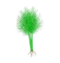 Fresh green dill on a white background vector