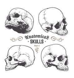 Anatomical skulls set vector