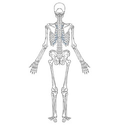 Human Skeleton Back View vector image