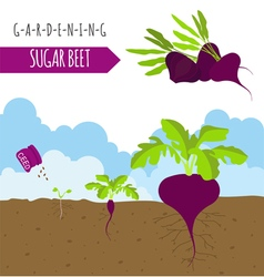 Gardening work farming sugarbeet graphic template vector