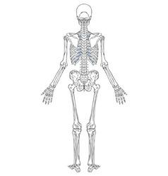 human skeleton back view vector image vector image