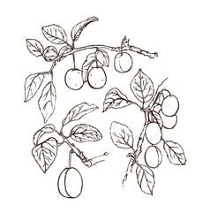 plums on white vector image