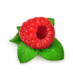 Raspberries and mint detailed vector image