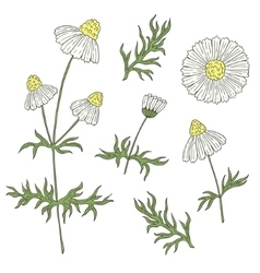 Camomile with stem and leaves hand drawing on a vector