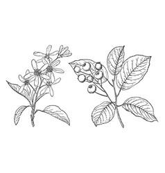 Branch of juneberry vintage vector