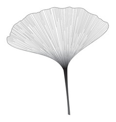 Botanical series elegant single ginkgo leaf vector
