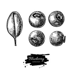 Blueberry drawing set isolated hand drawn vector