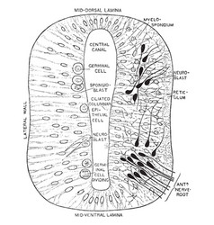 Section through early neural tube vintage vector