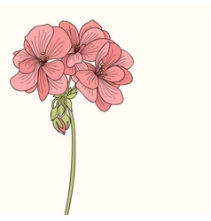 Pink geranium flower drawing vector