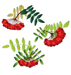 Set of rowan berries with leaves isolated on the vector image