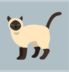 Cat breed siamese cute pet white black fluffy vector