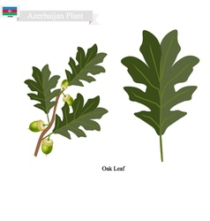 Oak leaf a plant on national emblem of azerbaijan vector