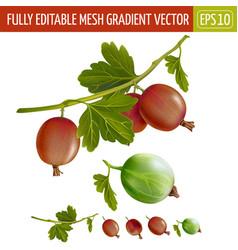 Gooseberries on white background vector