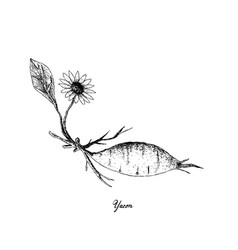 Hand drawn of fresh yacon on white background vector