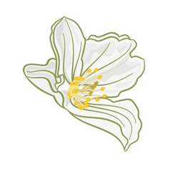 Isolated Jasmine flower on a white background vector image vector image