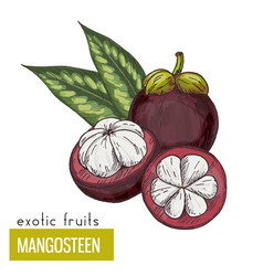 Mangosteen with leaves vector