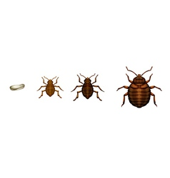 Bed bug life cycle - cimex lectularius vector