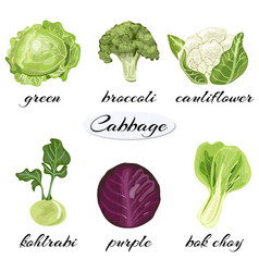 various types of cabbage vector image vector image