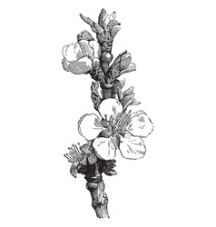 Blossom of apricot vintage vector