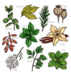 Sketch herbs and spice color collection vector