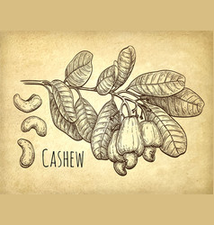 cashew branch and nuts vector image