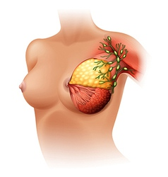 Breast anatomy vector