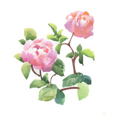 Beautiful hand drawn watercolor pink peony flowers vector