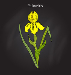 Yellow iris flower or water flag or lever iris vector