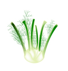 A fennel bulb on a white background vector