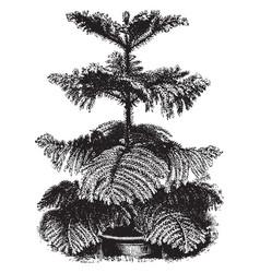 Araucaria excelsa tree vintage vector