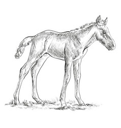 foal hand drawing vector image vector image