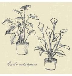 Flowers calla lilies vector