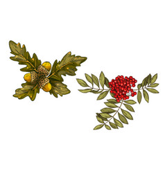 hand-drawn rowan branch with red berries and oak vector image