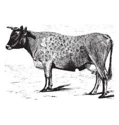 Jersey cow vintage vector