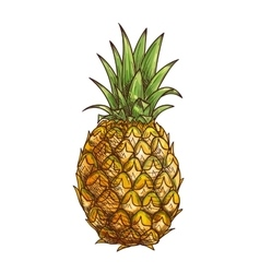 Pineapple exotci tropical fruit isolated sketch vector
