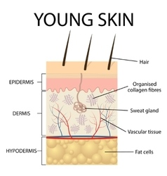 Visual representation of young skin vector