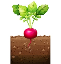 Red radish with roots underground vector