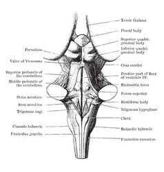 Back view of medulla pons and mesencephalon vector