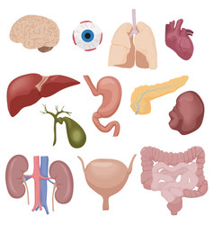 Human body internal parts organs set isolated vector