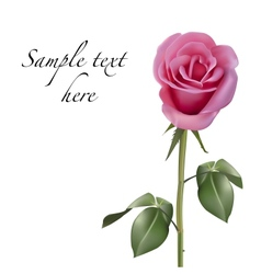 Pink rose isolated on white background vector image