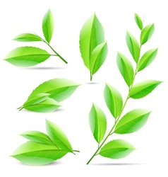 Set of a collage of green tea leaves vector