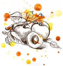 sketch - apricot fruit vector image