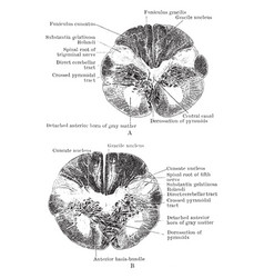 section through the junction of the medulla and vector image vector image